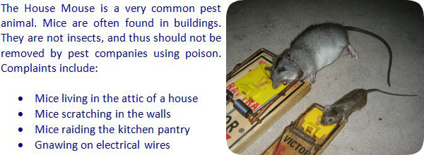 Information And Facts About The House Mouse
